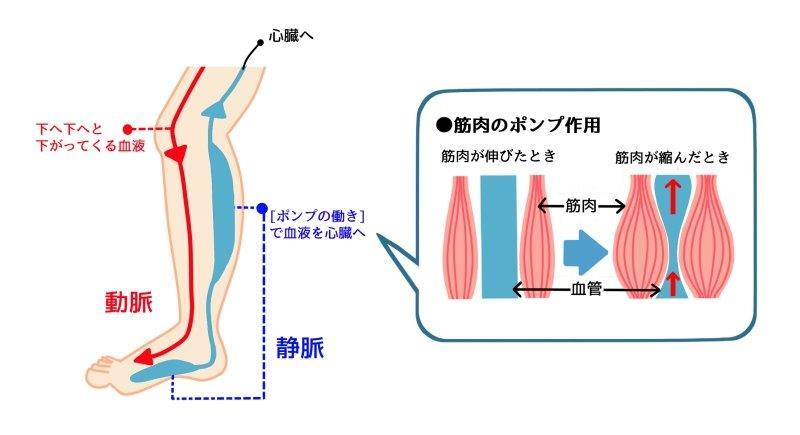 静脈の筋肉ポンプ作用